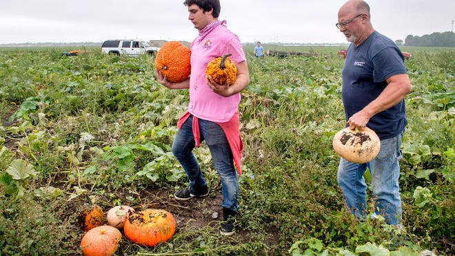 Morton farmer John Ackerman, right, and laborers Alex Ford, left, and Jared Walter, in the background, harvest pumpkins from a field Friday, Sept. 11, 2020 at Ackerman Family Farms, 27158 U.S. Route 150, in Morton. Unlike corn and soybeans, the semi-drought conditions of the summer proved beneficial to his pumpkin crop of about 160 different varieties.