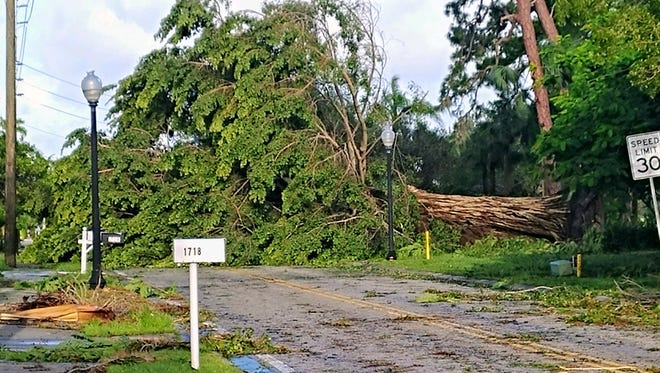 A giant tree toppled by Hurricane Irma fell across Hill Avenue, just south of the Fort Myers Country Club, blocking the road for those returning home Monday.