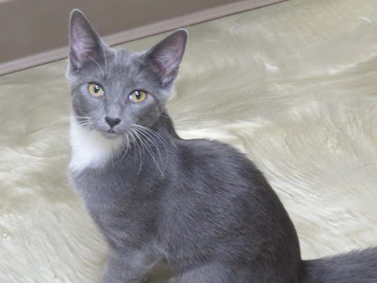 Boots is a grey and white, shorthaired, female  5-month-old