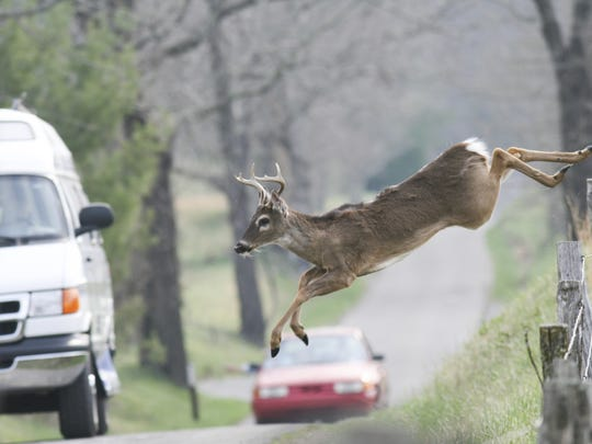 A whitetail deer jumping fence in front of vehicles.