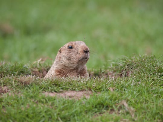 Groundhogs are also called woodchucks or whistlepigs.