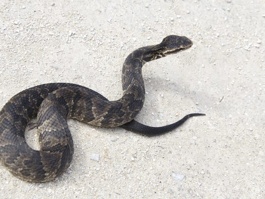 The Water Mocassin or Cottonmouth is one of four venomous snakes in Tennessee.