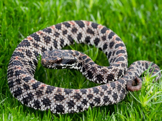 While rare, the Pygmy Rattlesnake may be found in Tennessee.