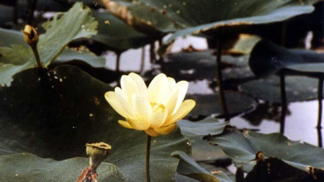 The lotus plants generally are 2 to 6 feet wide. American Lotus flowers have multiple layers of petals and are colorful.