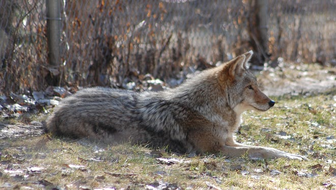 The DNR is hosting a live chat to discuss all things coyotes Feb. 23 at noon.