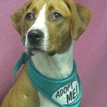 Heidi is a 1-year-old boxer mix.