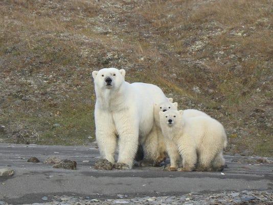 Polar Bears Chukchi Sea