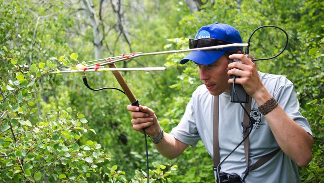 USU graduate student Joel Ruprecht holds up antenna while tracking moose to check for calving rates near the Alpine Loop on Thursday, June 4, 2015. (Grant Hindsley/Daily Herald via AP)