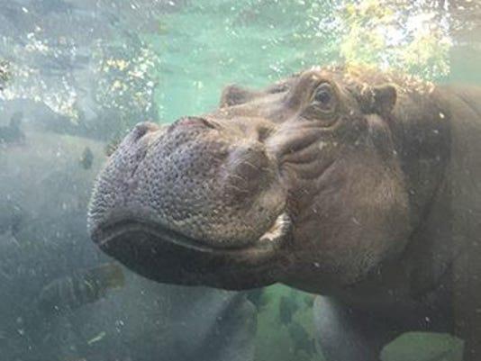 635805045277706140-hippo