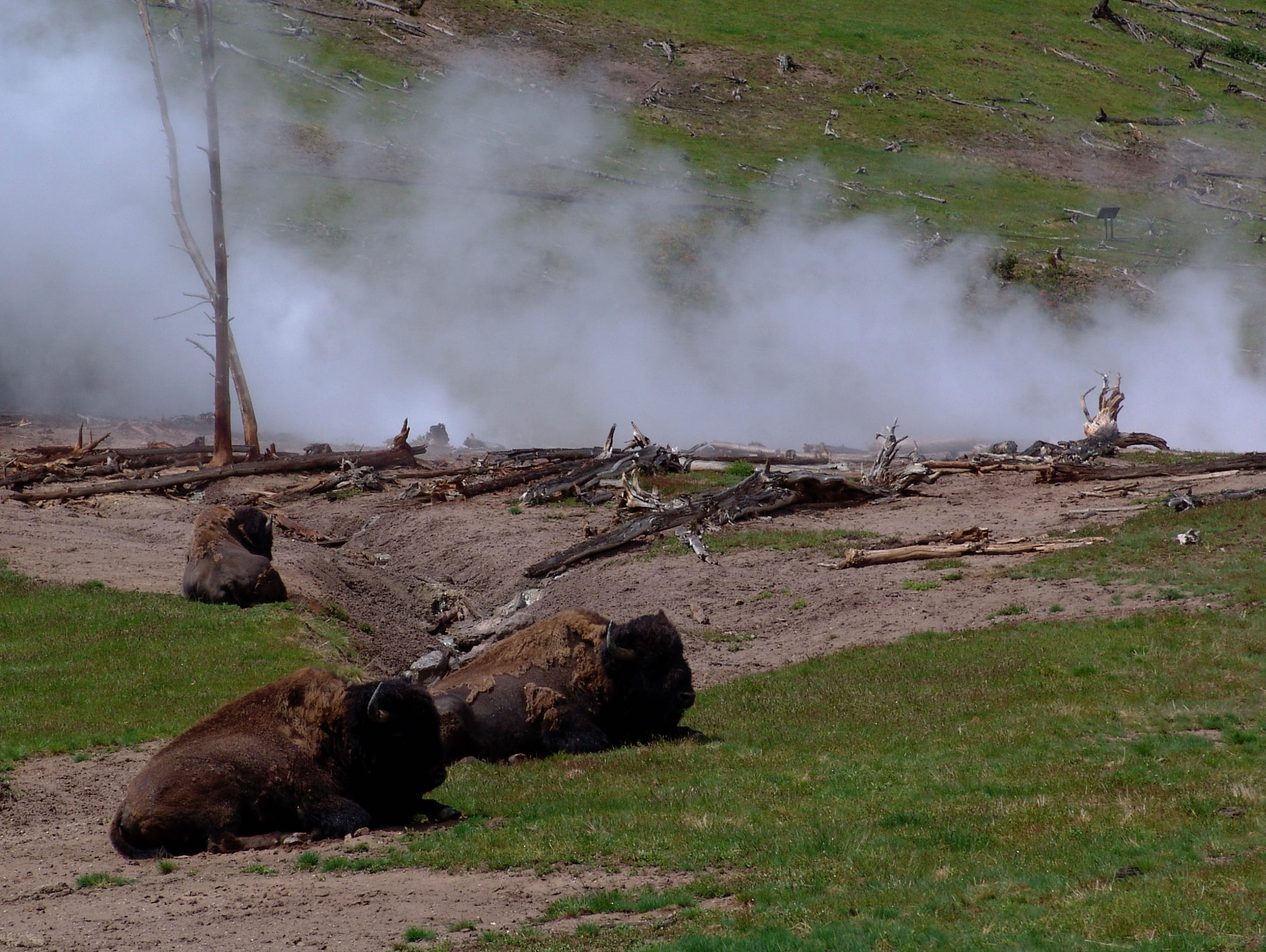 Bison cluster around a thermal feature in Yellowstone