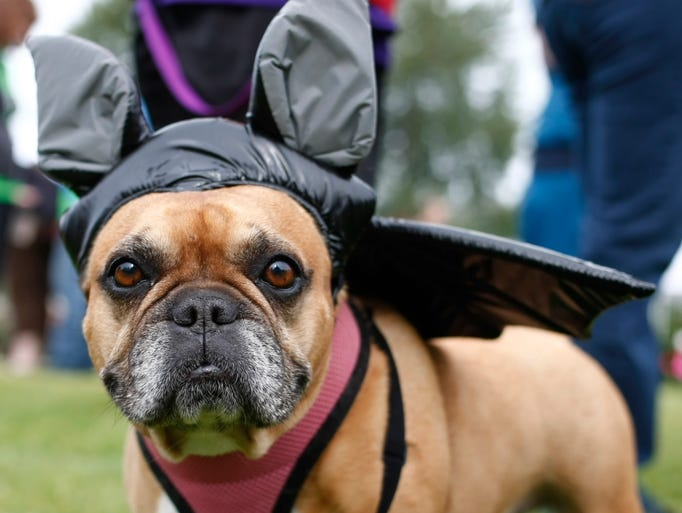 Roxanne, a nine year-old French bulldog, wears her bat costume during the Willamette Humane Society Willamutt strut, at Riverfront Park, on Saturday, June 14, 2014.