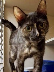 Kourtney is a beautiful, young, female domestic short hair. She is outgoing and curious, loves to play and loves people. Find her at Montgomery County Animal Care and Control, 616 N. Spring St., 931-648-5750, www.facebook.com/MontgomeryCountyAdoptionServices.