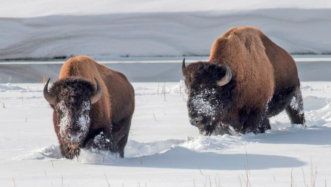 Yellowstone National Park bison forage for grass on Feb. 2, 2014.