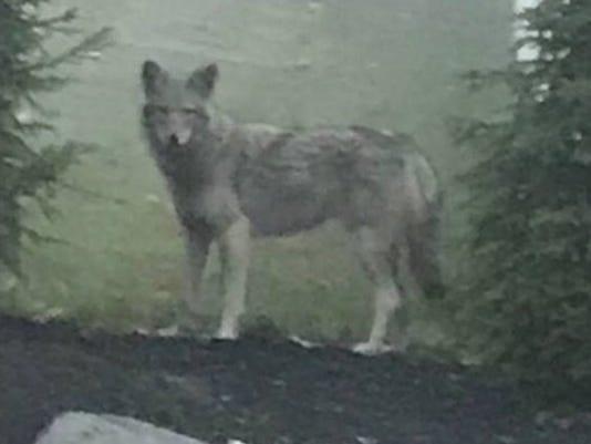 Clarkstown coyote