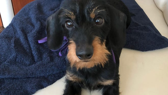 Literally born during the 2016 Mt. Angel wiener dog races, Mt. Angel BB (beautiful baby) went on to become a champion dog-show dachshund before her first birthday.