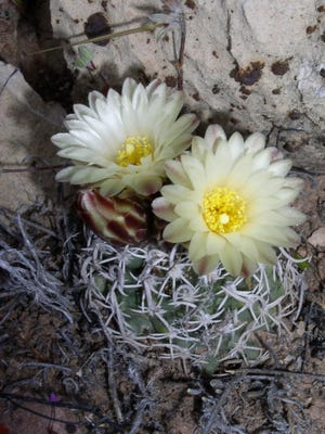 The Fickeisen plains cactus is a rounded, quarter-size plant of the Colorado Plateau that retracts below ground during winter.