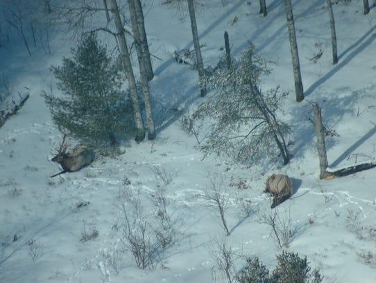 In the last century, Michigan's elk herd has grown