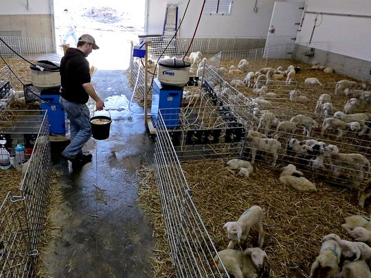 Jordan Knox tends pens containing lambs born through