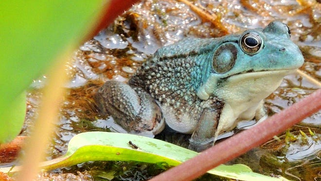 A rare blue phase green frog turned up in a Kewaunee County marsh this summer. The blue color is caused by a lack of yellow pigment in the skin cells.