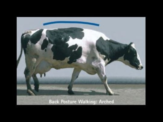 SCORE 2 - Mildly Lame: Stands with flat back, but arches when walks. Gait is slightly abnormal.