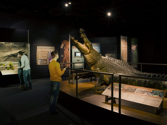 A life-size model of Gomek, a saltwater crocodile that