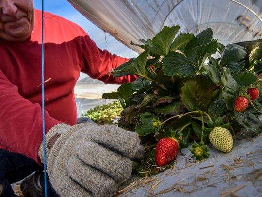 Phil Edmonds picks strawberries in late November.