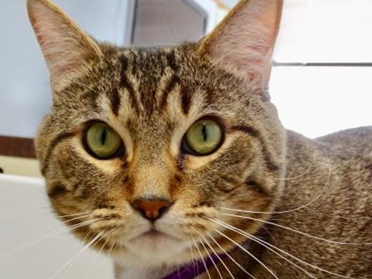 Elmbrook Humane Society is one of 14 Wisconsin humane societies waiving adoption fees for adult cats in the month of July. Izzy is one of the cats available at Elmbrook.