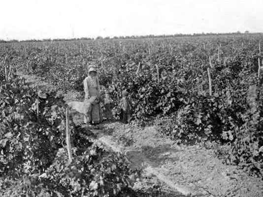Vineyard 1901