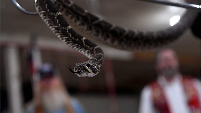A Western Diamondback rattlesnake during Media Day for the 60th annual World's Largest Rattlesnake Roundup in Sweetwater. Held every second weekend in March, organizers say the goal of the event has been to educate the public about the animal but also reduce their numbers around populated areas.