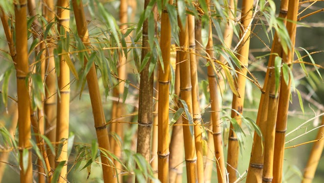 A lot of bamboo is native to Asia, but Florida also has a great climate and good soil for it.