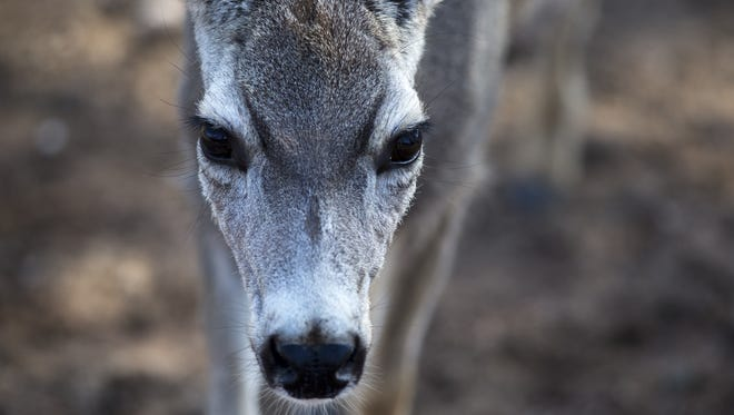 A mule deer  at the Heritage Park Zoological Sanctuary in Prescott.