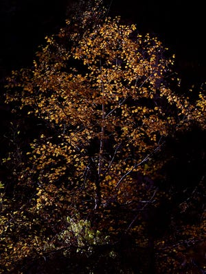 The afternoon sunlight illuminates a tree in Spearfish Canyon in Spearfish on Friday, October 9, 2015.