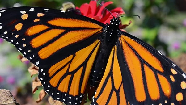 Adult monarch butterfly.