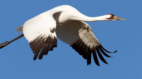 A whooping crane in flight.