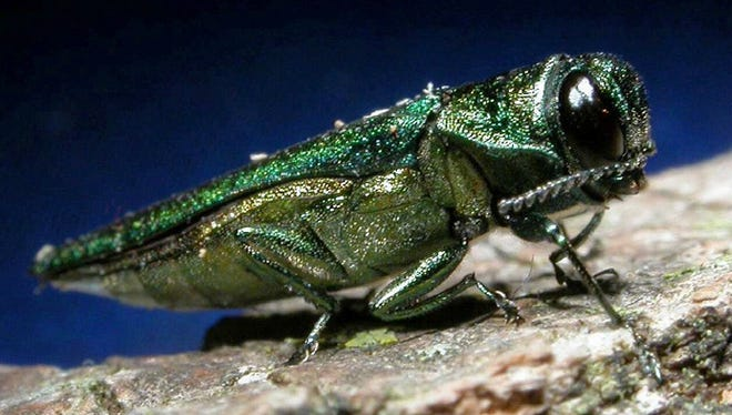 An emerald ash borer, an Asian insect that is wiping out ash trees across the country.