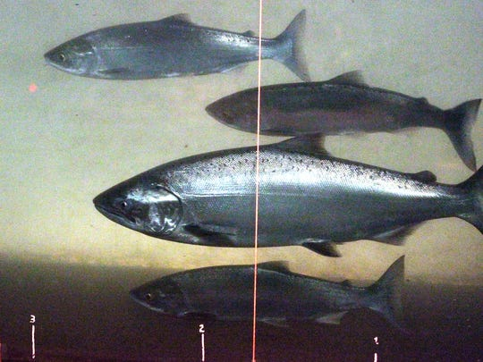In this file photo, a chinook salmon, second from the bottom, swims with sockeye salmon at the Bonneville Dam fish-counting window near North Bonneville, Wash., on the Columbia River.