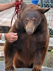 Although her common name is black bear, many are not actually black but brown, cinnamon, and even beige