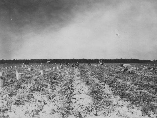 1380-006_#2_Sweet Potato Field at Laurel Culver Farm, October 18, 1922 copy