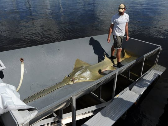 In this 2013 file photo, the 13-foot sawfish spotted earlier this week in the St. Lucie River was found dead Friday. It was loaded into a trailer by Beau Yeiser, a biologist with the Florida Fish and Wildlife Conservation Commission and taken to the FWC laboratory in Tequesta, FL where it will be studied. (Submitted photo)