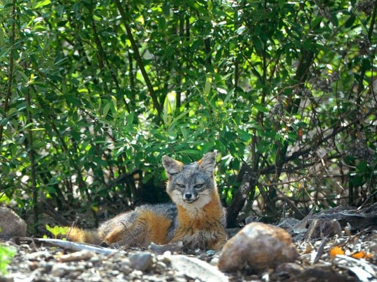 JUAN CARLO/THE STAR An island fox relaxes near a bush on Santa Cruz Island. U.S. Secretary of the Interior Sally Jewell visited the island Friday to highlight the conservation work underway to recover four subspecies of island fox from the endangered species list.