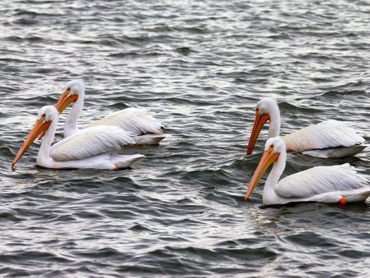 White pelicans surround a fish cleaning station Wednesday, Jan. 13, 2016, at Goose Island State Park in Rockport.