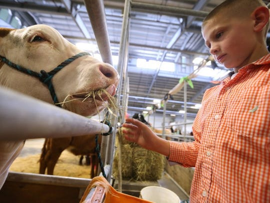 Rachel Denny Clow/Caller-Times Remington Wright, 11, a member of Chaparral 4-H, feeds his steer Thursday, Jan. 14, 2016, during cattle move in at the 81st annual Nueces County Junior Livestock Show at the Richard M. Borchard Regional Fairgrounds in Robstown.