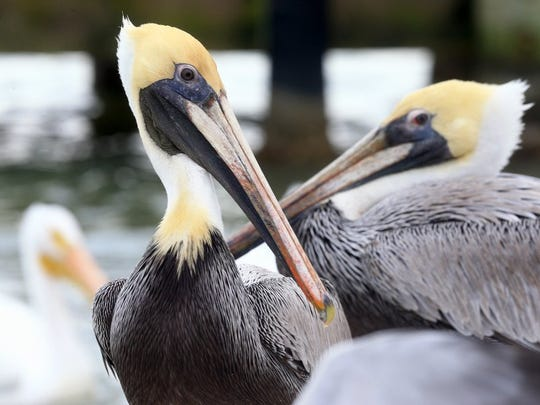 GABE HERNANDEZ/CALLER-TIMES Brown pelicans surround a fish cleaning station Wednesday at Goose Island State Park in Rockport.
