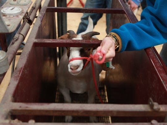 Michelle Gaitan/Standard-Times A goat gets an official weight in for the Junior Texas Stars Wether Doe Show Thursday as part of the 84th Annual San Angelo Stock Show and Rodeo.