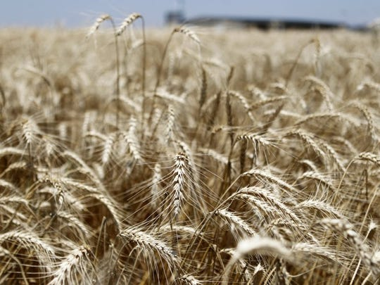 Patrick Dove/Standard-Times Ripening wheat waves in a field near San Angelo. Today is National Ag Day, set aside to honor farmers, ranchers and others who contribute to sustaining the food supply and conserving natural resources in the U.S.