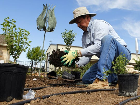 Standard-Times file photo Ron Knight, a retired orthodontist and current Concho Valley Master Gardner, plants pink skullcaps in one of his plant beds in the backyard of his San Angelo home in 2014. The bed is watered with a drip irrigation system which Knight said is 90 percent effective because you are able to target specific areas of the bed, saving more water than a conventional pop-up spray head.