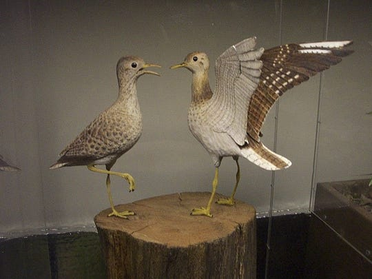 Upland sandpipers, carved by Bob Spear and still looking lively at the Birds of Vermont Museum in Huntington.