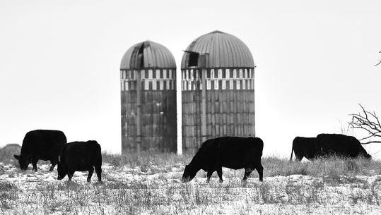 A herd of cattle graze Jan. 5 along Benton County Road 80 east of Sauk Rapids. Times photographers shared black-and-white images when the photo contest was introduced.