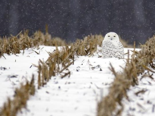 A snowy owl sits in a corn field during a gentle snow