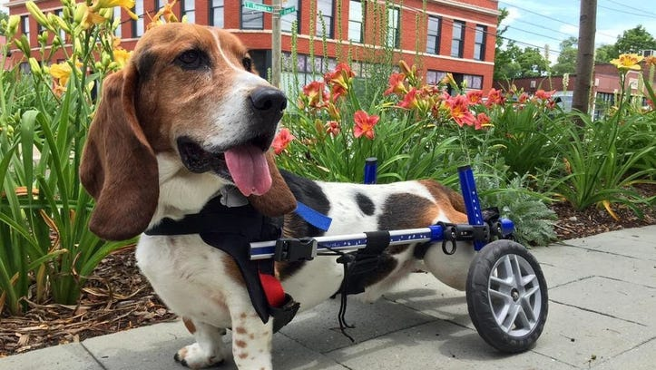 Meet our basset hound Charlie. His wheelchair doesn't slow him down.